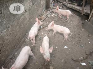 12 Weeks Pure Breed American Large White(Pure Breed)Piglets   Livestock & Poultry for sale in Rivers State, Port-Harcourt