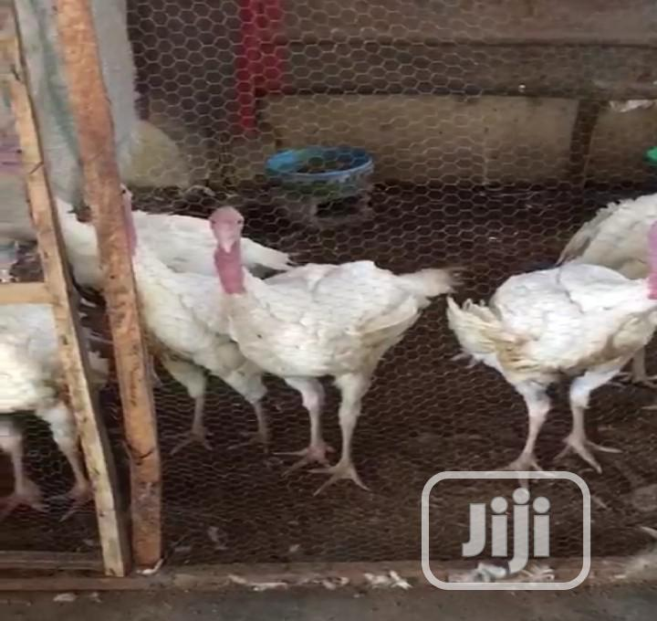 Foreign Turkey | Livestock & Poultry for sale in Kubwa, Abuja (FCT) State, Nigeria