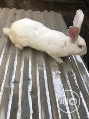 Mature Hyla Rabbit | Livestock & Poultry for sale in Ogun State, Abeokuta South