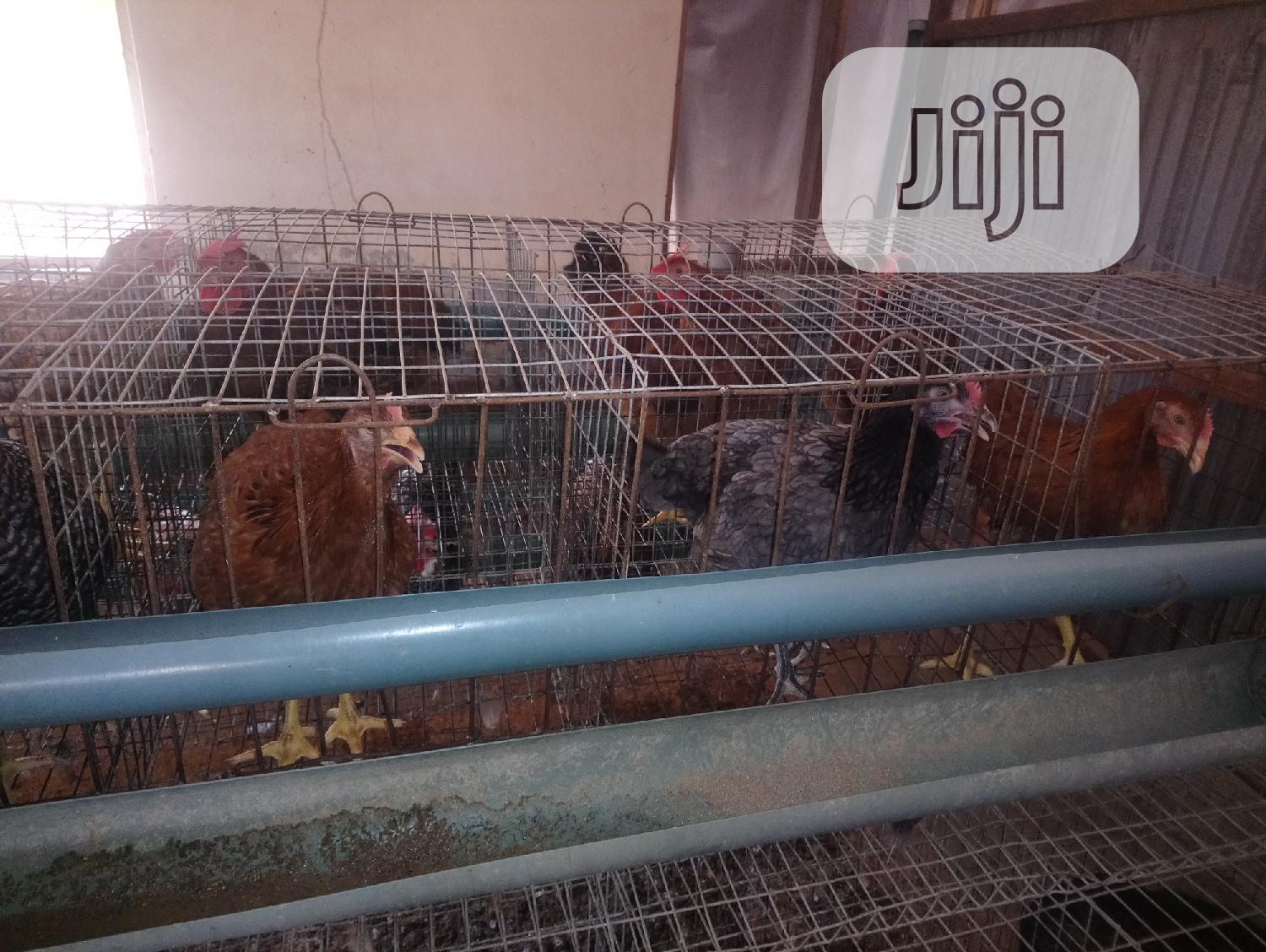 Archive: 12 Weeks Old Noiler Chickens for Sale.