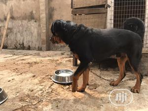 1+ Year Male Purebred Rottweiler   Dogs & Puppies for sale in Ondo State, Akure