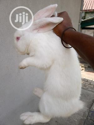 Mature Female Hyla Rabbit | Livestock & Poultry for sale in Rivers State, Port-Harcourt