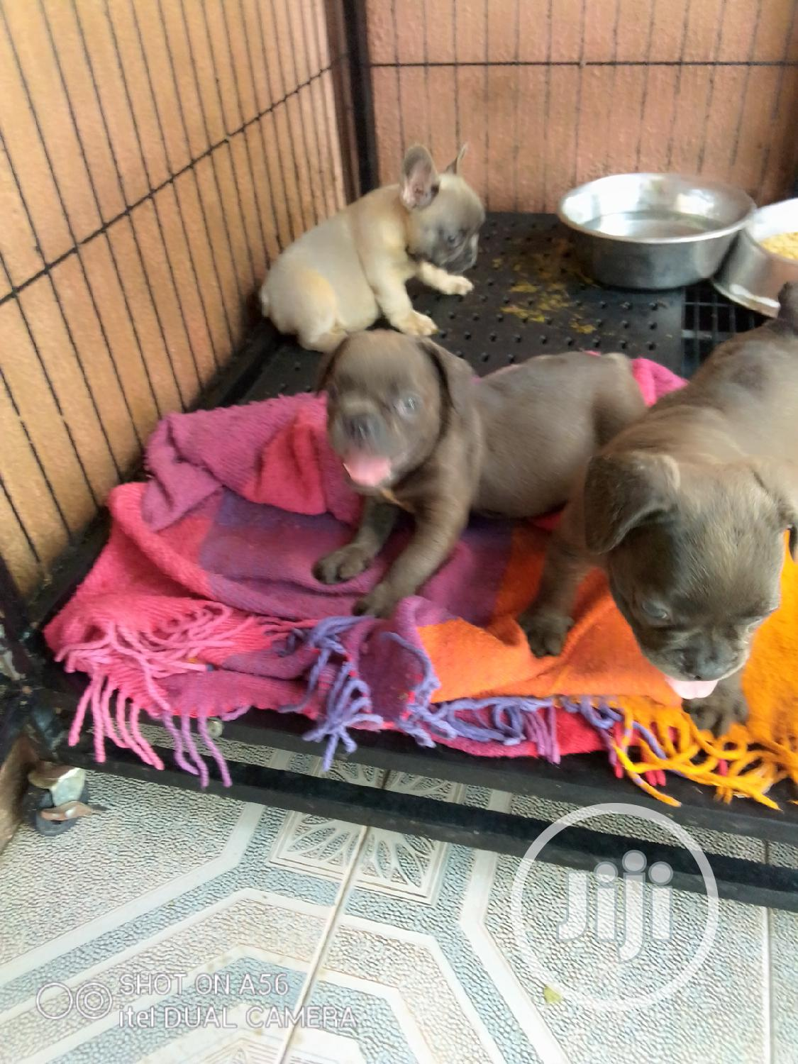 1-3 Month Female Purebred French Bulldog | Dogs & Puppies for sale in Isolo, Lagos State, Nigeria