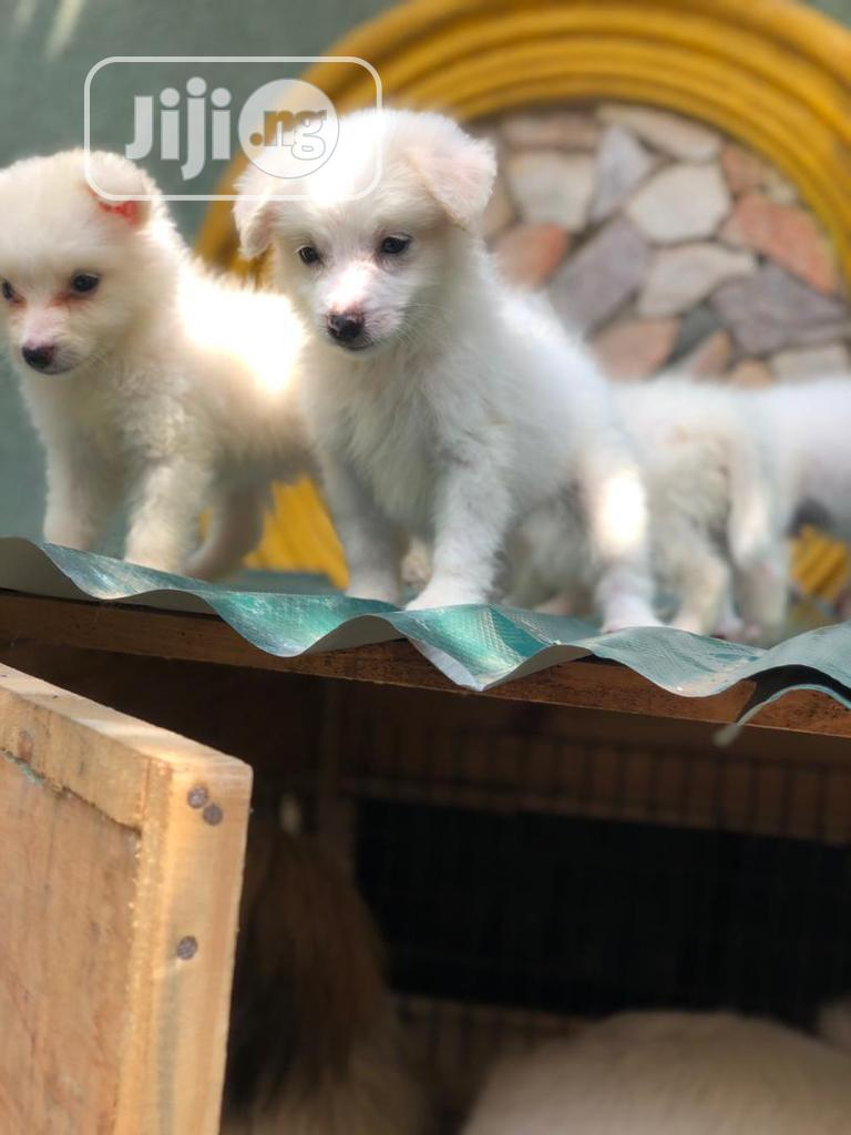 1-3 month Male Purebred American Eskimo   Dogs & Puppies for sale in Ikorodu, Lagos State, Nigeria