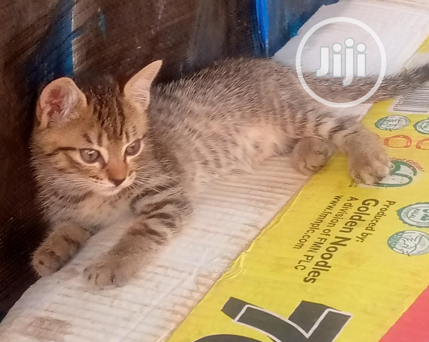 1-3 Month Male Purebred American Wirehair