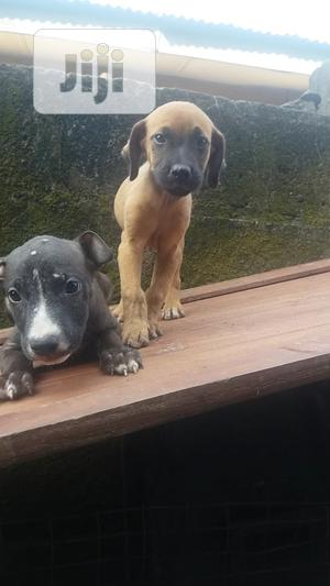 1-3 Month Male Purebred Boerboel | Dogs & Puppies for sale in Delta State, Warri