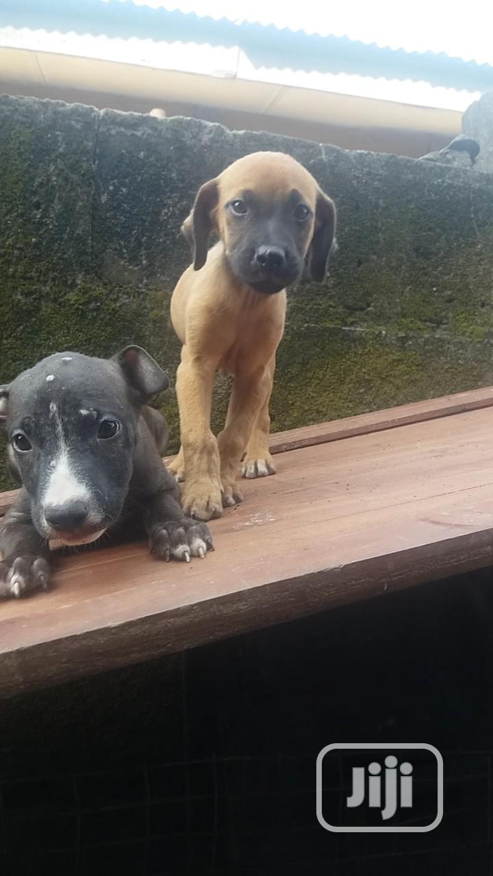 1-3 Month Male Purebred Boerboel | Dogs & Puppies for sale in Warri, Delta State, Nigeria