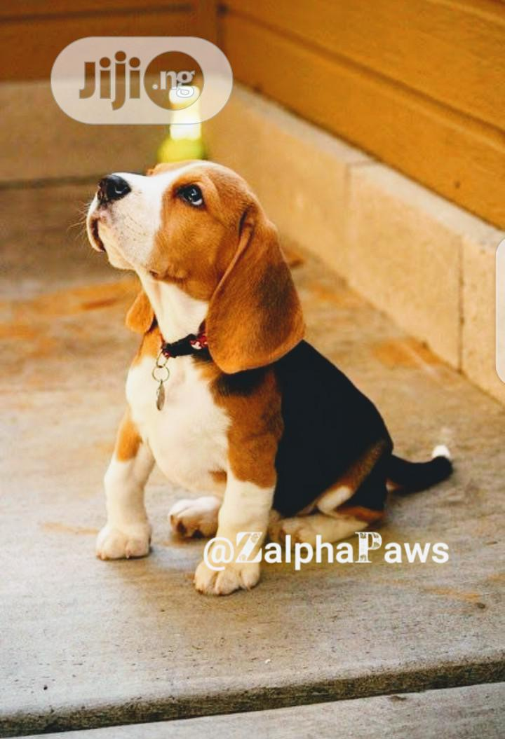 3-6 month Male Purebred Beagle