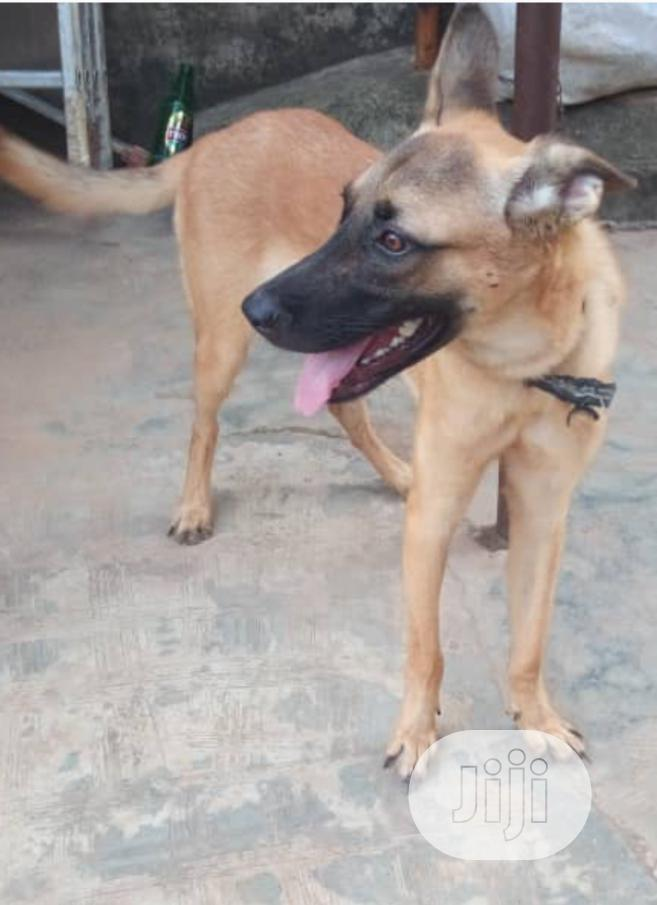 Archive: 1+ Year Male Mixed Breed Belgian Malinois