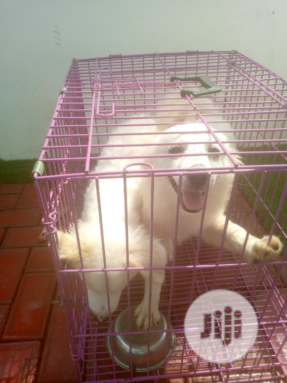 3-6 Month Female Purebred American Eskimo