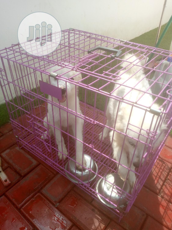 3-6 Month Female Purebred American Eskimo   Dogs & Puppies for sale in Lekki, Lagos State, Nigeria
