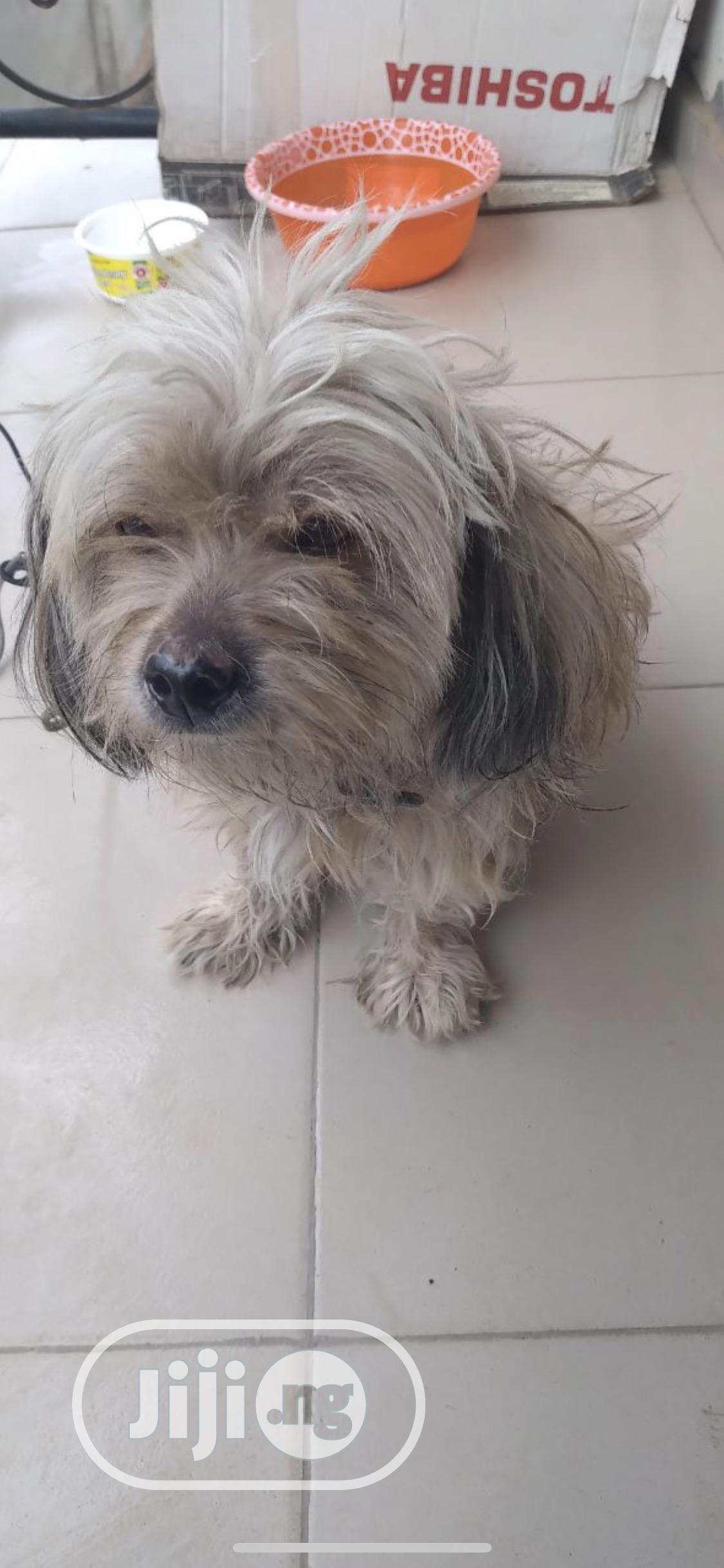 6-12 Month Male Purebred Lhasa Apso | Dogs & Puppies for sale in Ikeja, Lagos State, Nigeria
