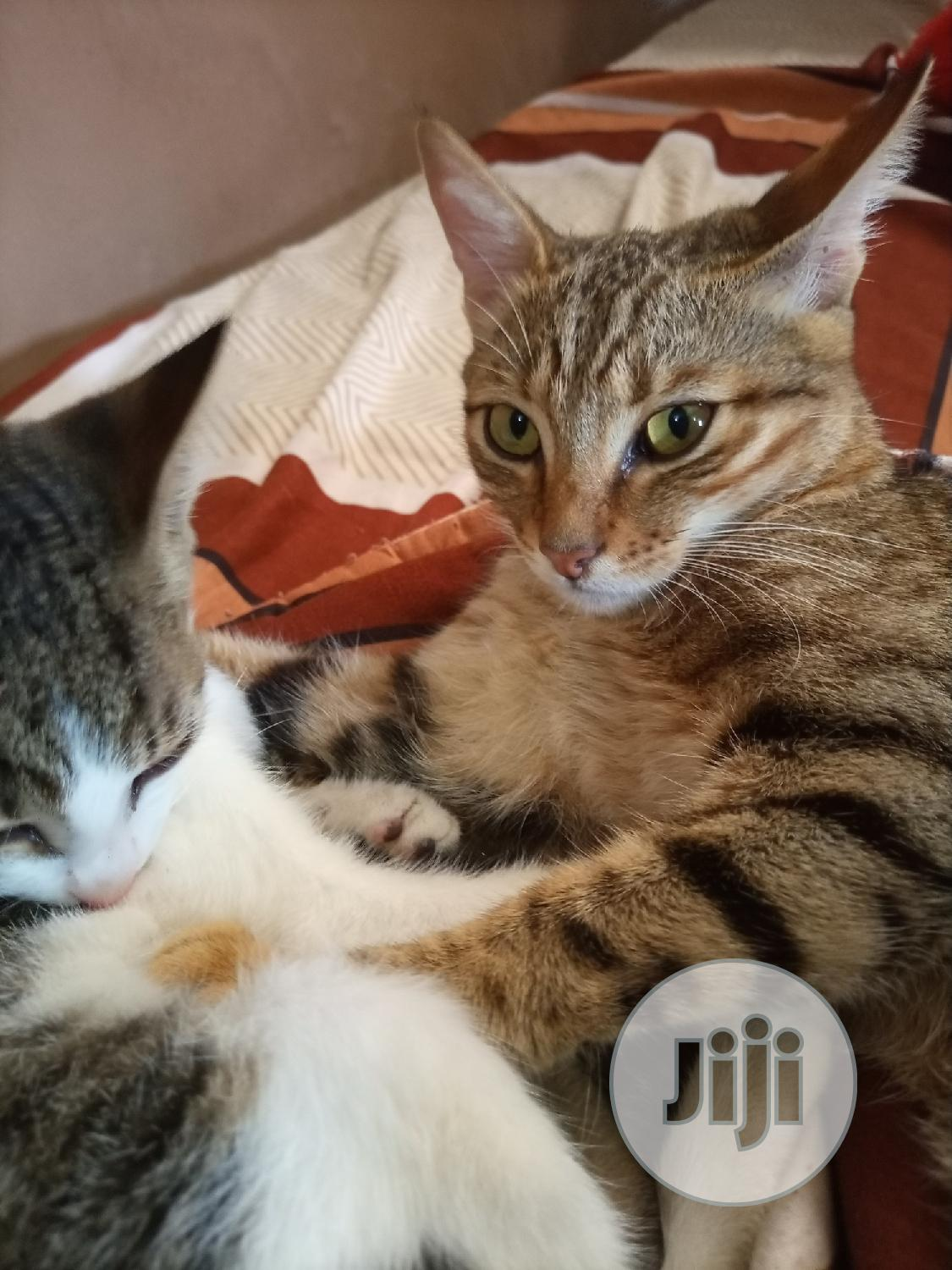0-1 Month Male Purebred Cat | Cats & Kittens for sale in Jabi, Abuja (FCT) State, Nigeria