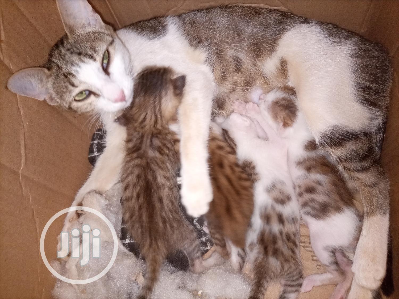 0-1 Month Male Purebred Cat