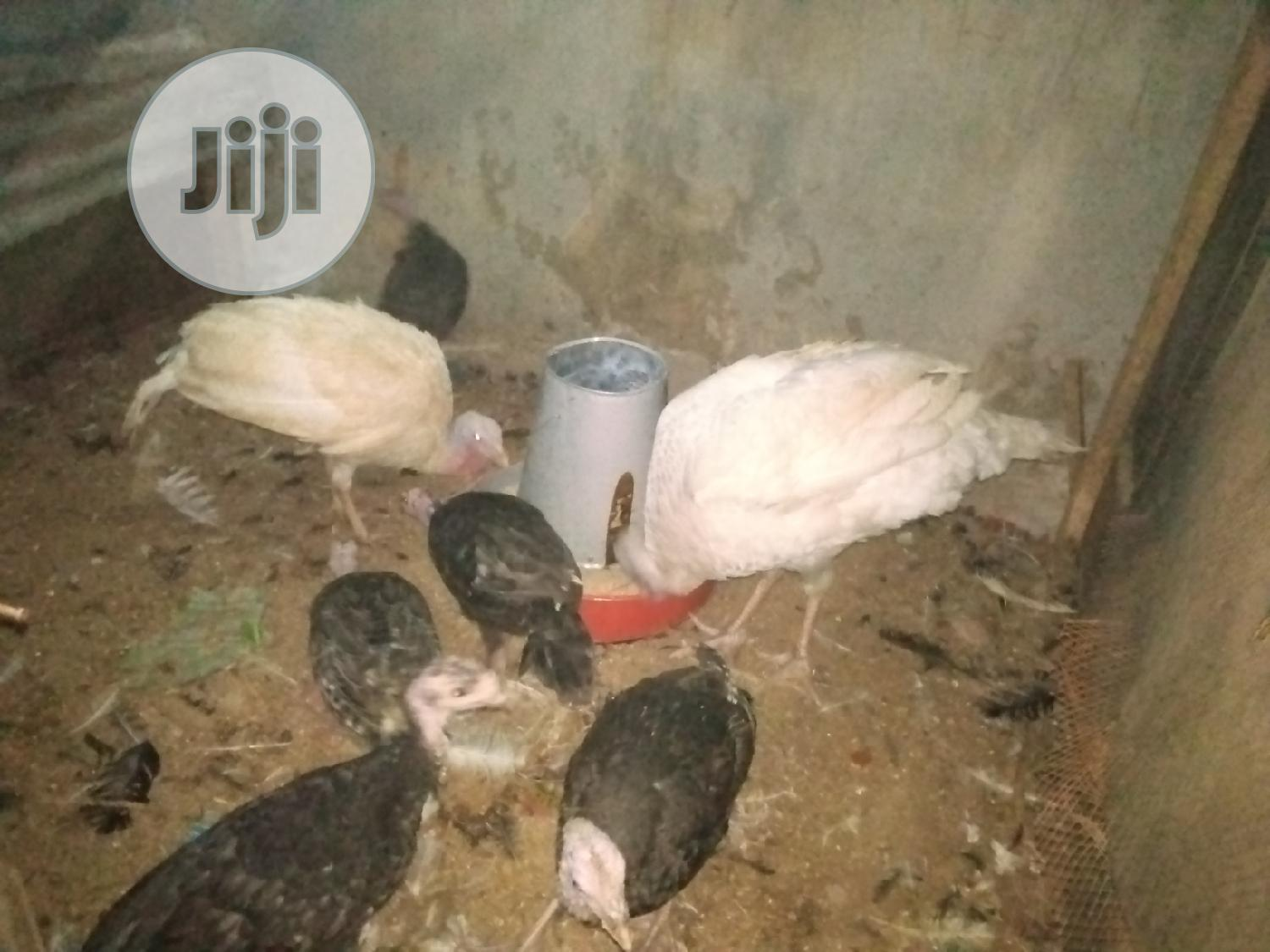 Archive: Both Matured and Pullet Foreign Local Turkey Available