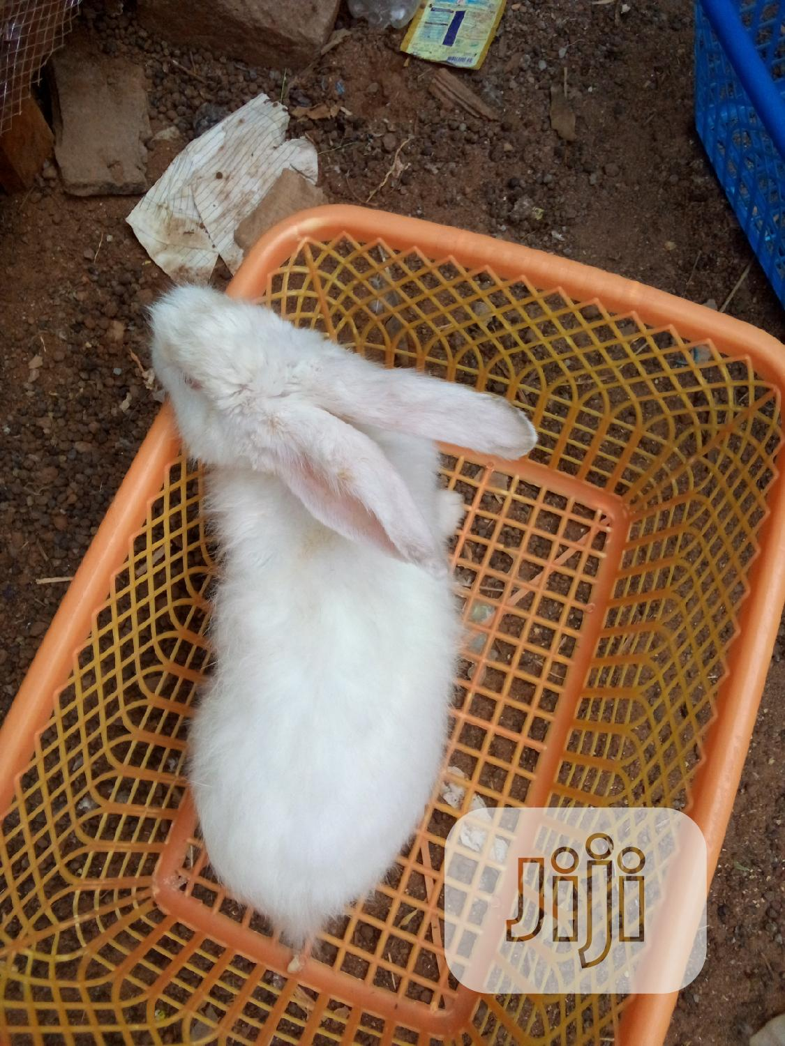 Archive: Matured ,Grower and Weaners Rabbit Angora ,Hyla, for Sale
