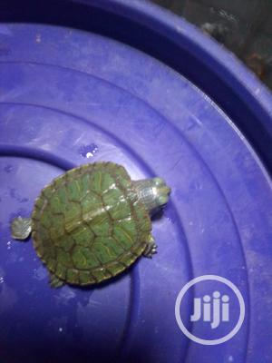 Green Turtle | Reptiles for sale in Lagos State, Surulere