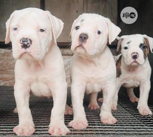 0-1 Month Male Purebred Bulldog   Dogs & Puppies for sale in Lagos State, Alimosho