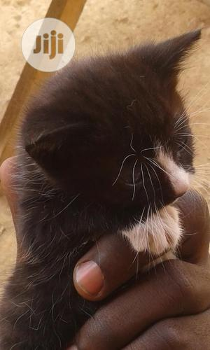 1-3 Month Male Mixed Breed Turkish Angora | Cats & Kittens for sale in Abuja (FCT) State, Nyanya