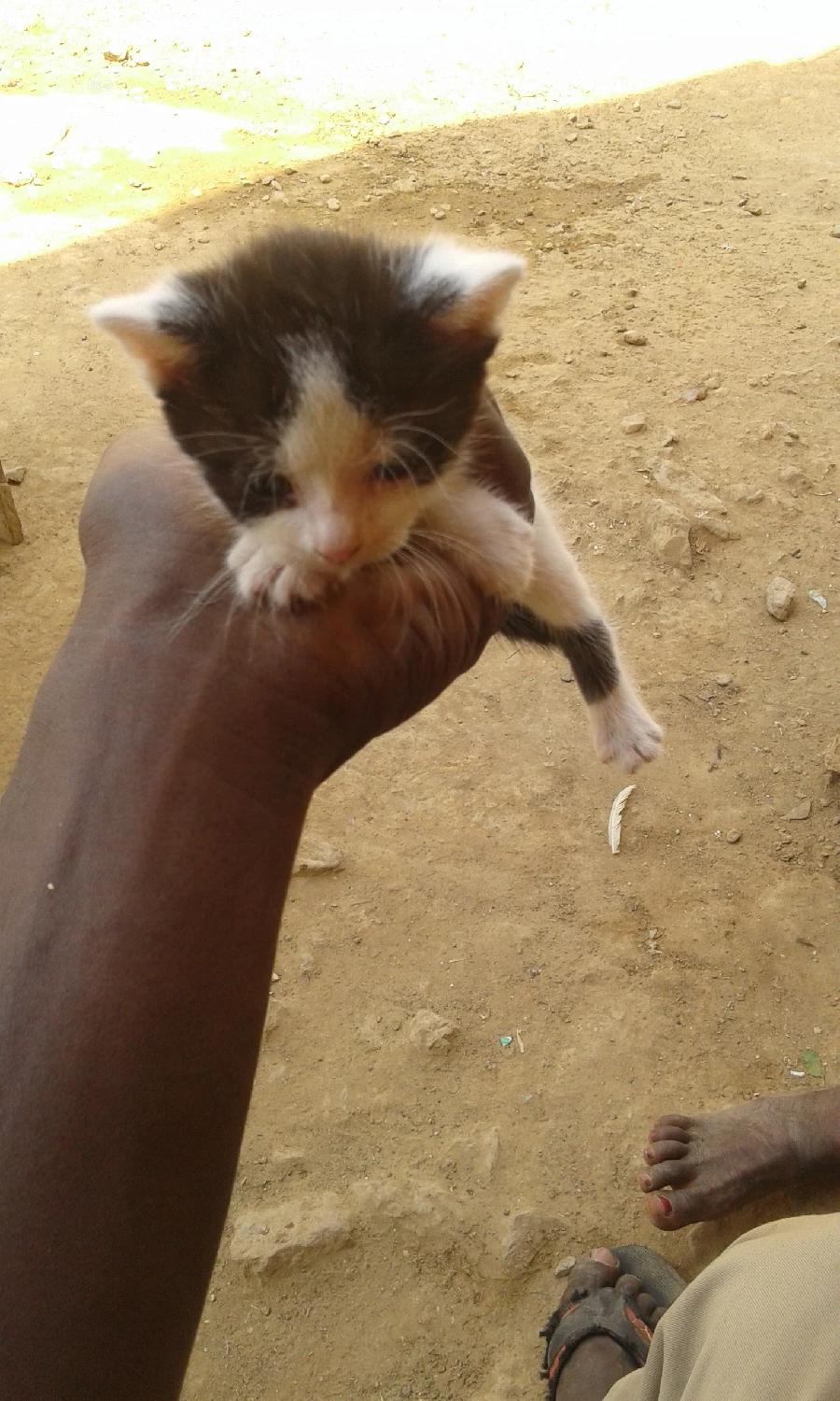 1-3 Month Female Mixed Breed Turkish Van | Cats & Kittens for sale in Nyanya, Abuja (FCT) State, Nigeria