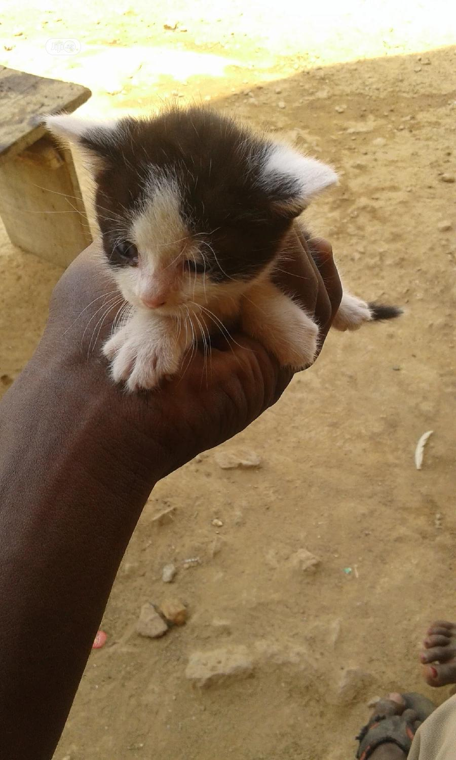 1-3 Month Male Mixed Breed Turkish Van
