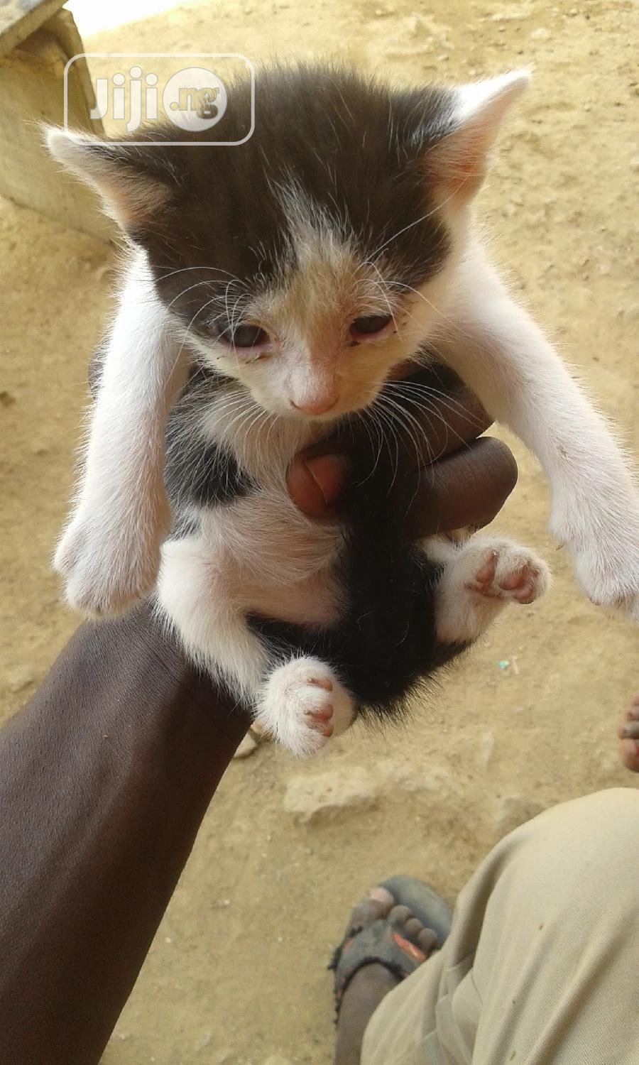1-3 Month Male Mixed Breed Turkish Van | Cats & Kittens for sale in Nyanya, Abuja (FCT) State, Nigeria