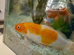 Japanese Koi Fishes | Fish for sale in Abuja (FCT) State, Lugbe District