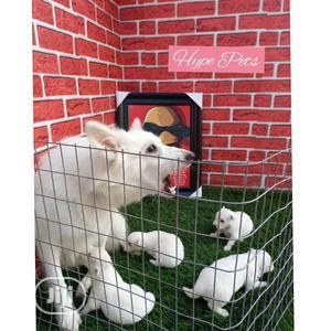 1-3 Month Male Purebred American Eskimo | Dogs & Puppies for sale in Ogun State, Ado-Odo/Ota