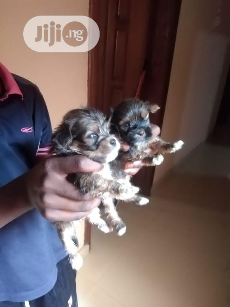 1-3 Month Male Purebred Lhasa Apso | Dogs & Puppies for sale in Amuwo-Odofin, Lagos State, Nigeria