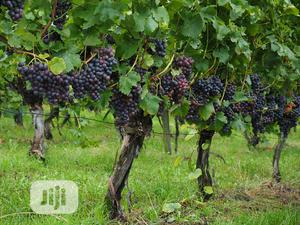 Hybrid Grapevine Seedling | Feeds, Supplements & Seeds for sale in Lagos State, Ojodu