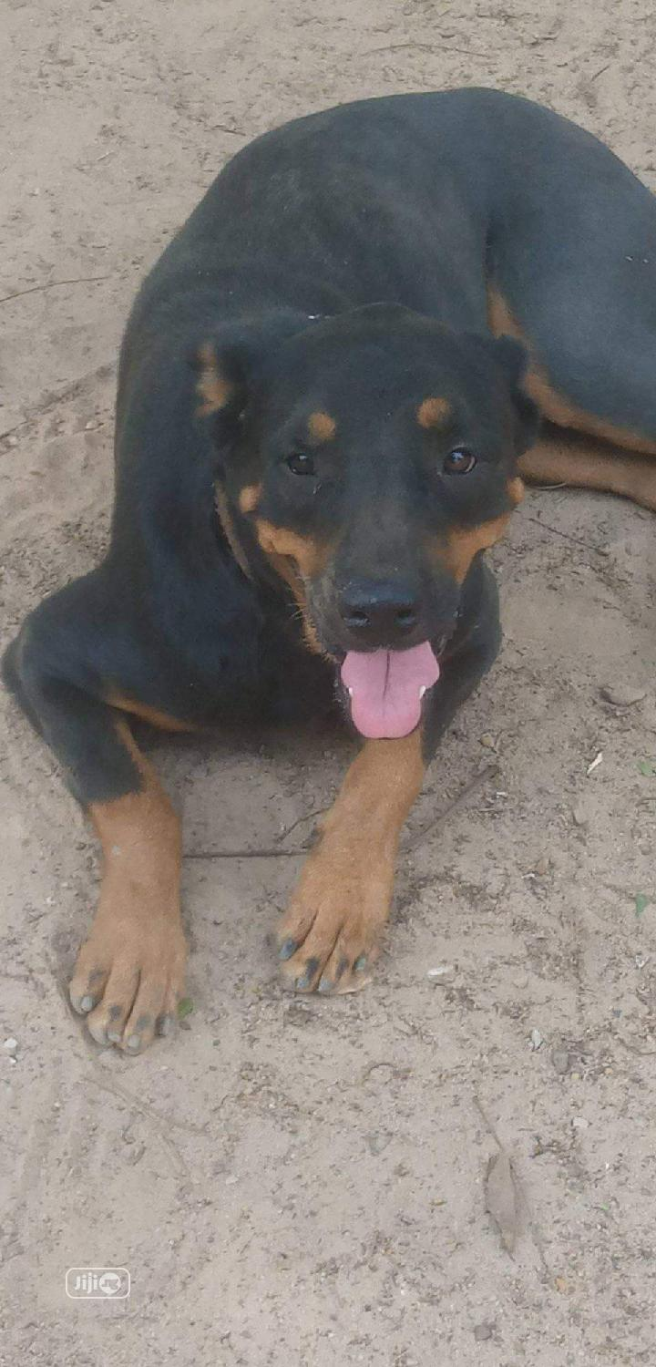 1+ Year Female Purebred Rottweiler