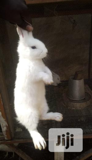 Chinchilla Rabbit 2 Months Old For Sale   Other Animals for sale in Lagos State, Ikorodu