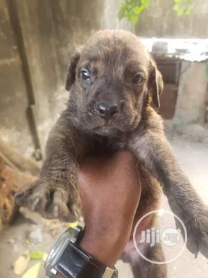 1-3 Month Male Purebred Boerboel   Dogs & Puppies for sale in Enugu State, Enugu