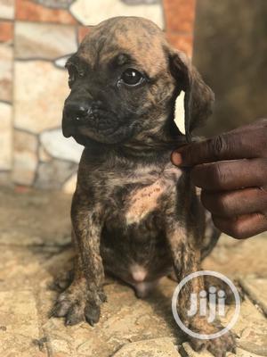 1-3 Month Female Purebred Boerboel   Dogs & Puppies for sale in Enugu State, Enugu