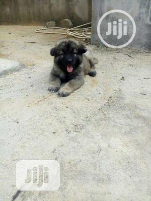 1-3 Month Female Purebred Caucasian Shepherd   Dogs & Puppies for sale in Lagos State, Mushin