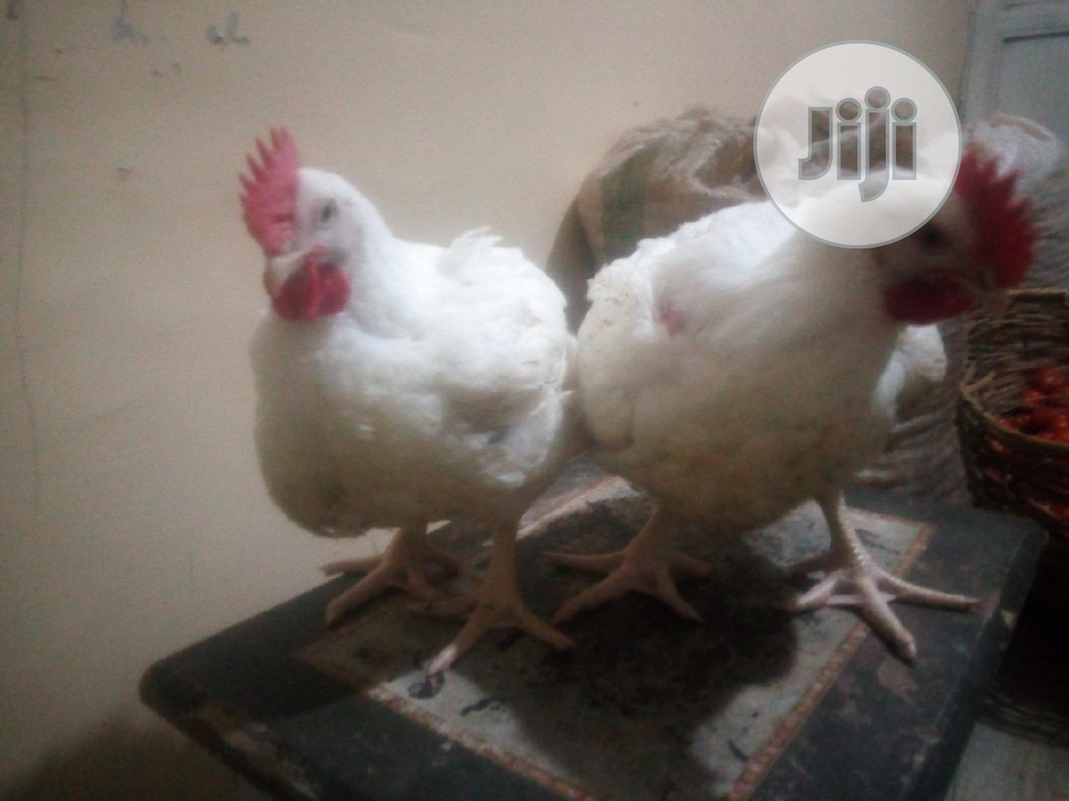 Matured Broiler Chickens for Sale