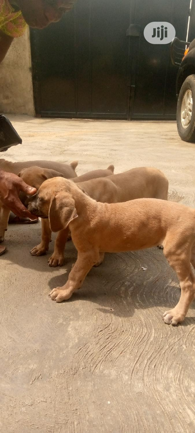 1-3 Month Male Purebred Boerboel | Dogs & Puppies for sale in Lekki, Lagos State, Nigeria