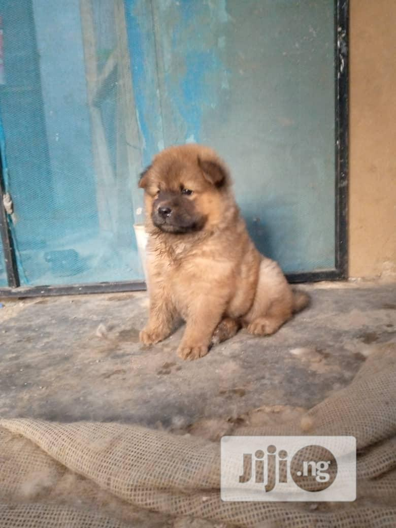 Archive: 1-3 Month Male Purebred Chow Chow