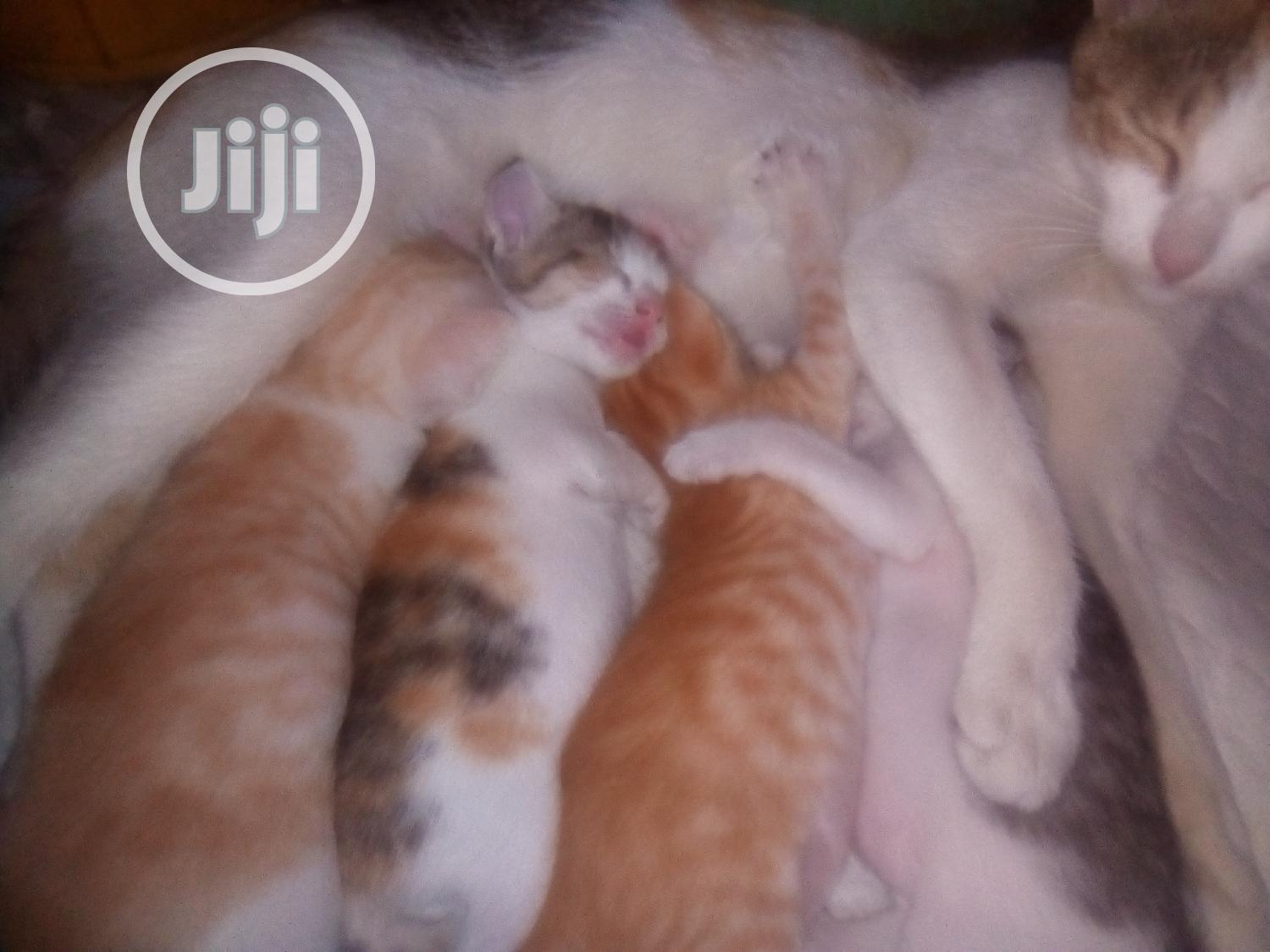 Archive: 0-1 month Female Purebred American Shorthair