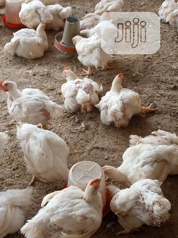 Archive: 6 Weeks Broiler Chicken