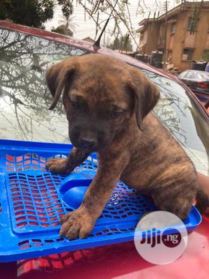 0-1 Month Male Purebred Boerboel | Dogs & Puppies for sale in Enugu State, Enugu