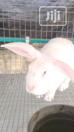 Rabbit Colony for Sale | Livestock & Poultry for sale in Lagos State, Agege