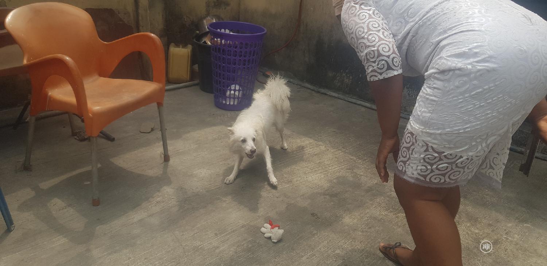 6-12 Month Male Purebred American Eskimo | Dogs & Puppies for sale in Surulere, Lagos State, Nigeria