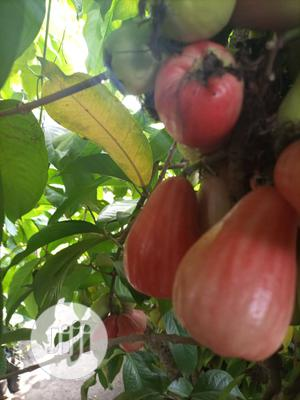 Bell Apple Seedlings | Feeds, Supplements & Seeds for sale in Oyo State, Lagelu