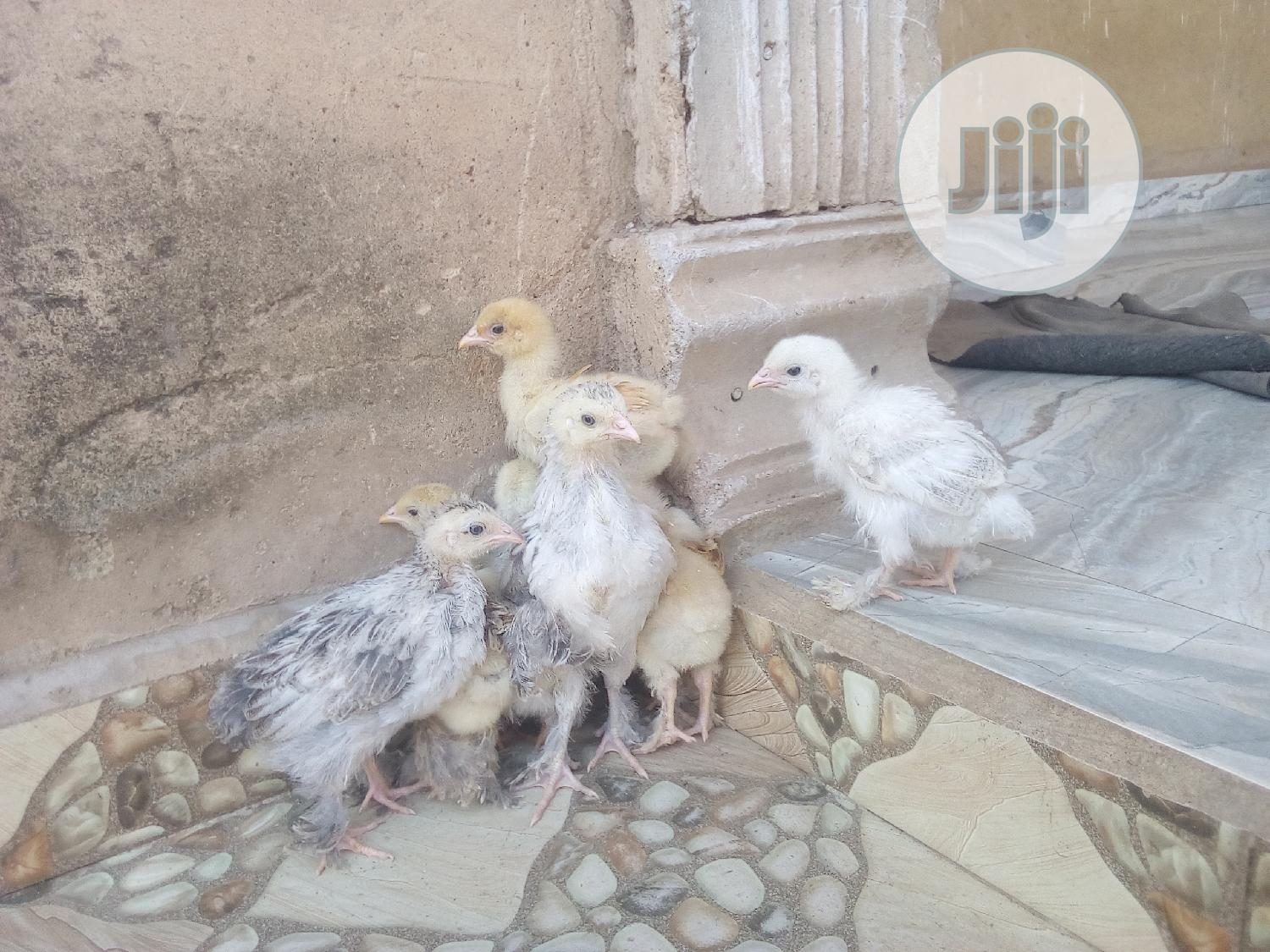 Healthy Brahmas and Cochins Available in Jahland Animal Farm | Other Animals for sale in Nyanya, Abuja (FCT) State, Nigeria