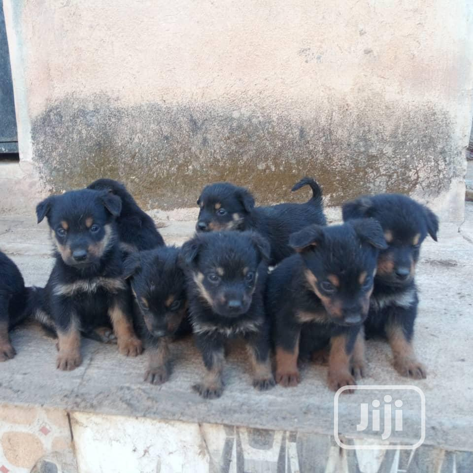 Archive: 1-3 Month Female Mixed Breed Rottweiler