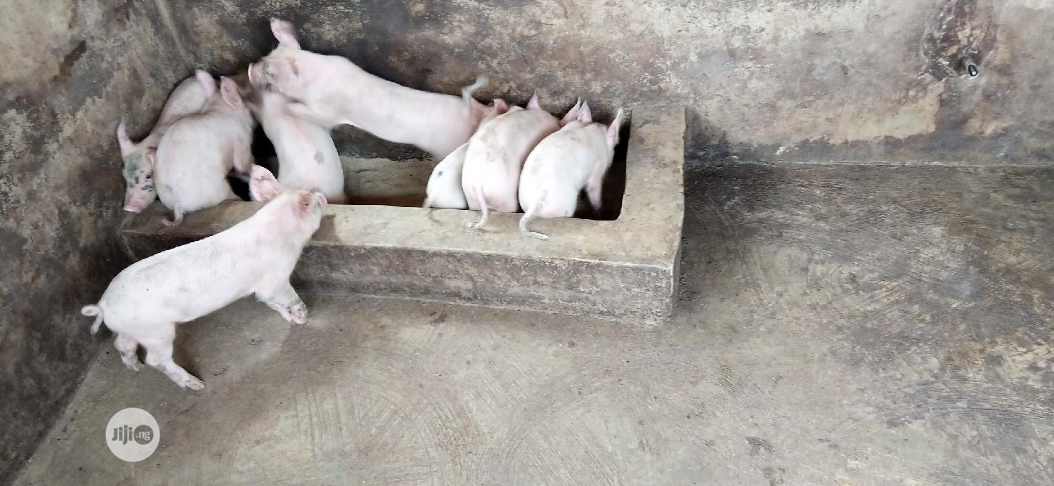 Archive: Weaners Healthy Pig