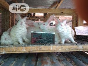 Bunny Rabbits   Livestock & Poultry for sale in Lagos State, Ikeja