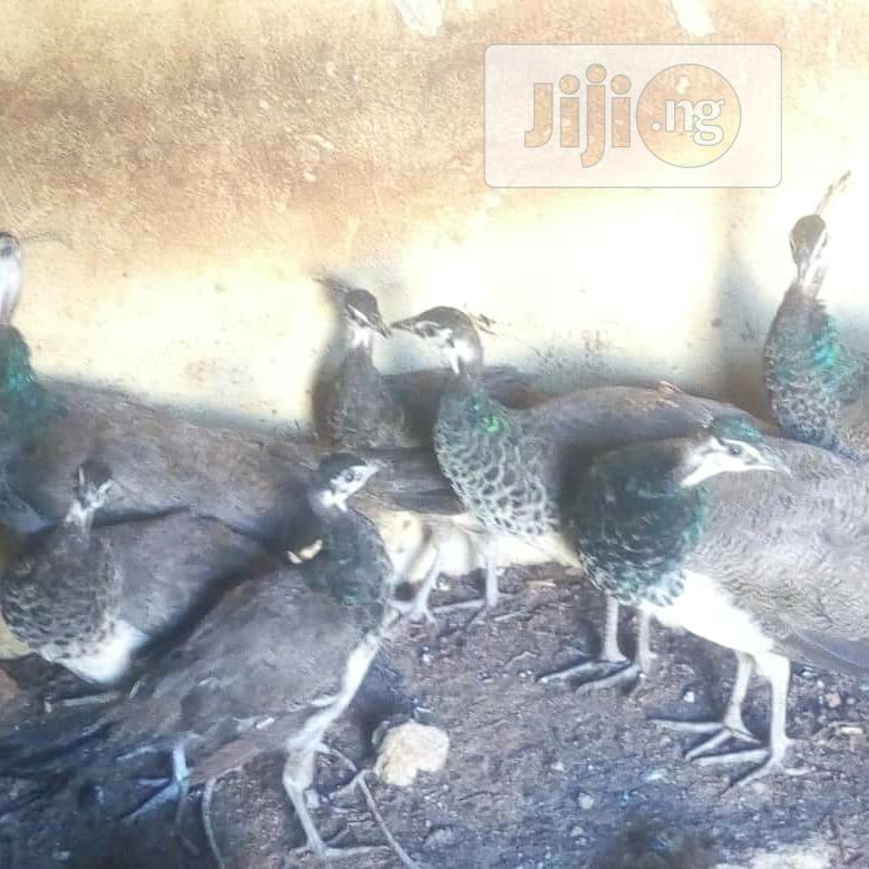 A Pair Of Peacock And Peahen | Birds for sale in Agege, Lagos State, Nigeria