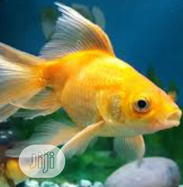 Aquarium Gold Fish